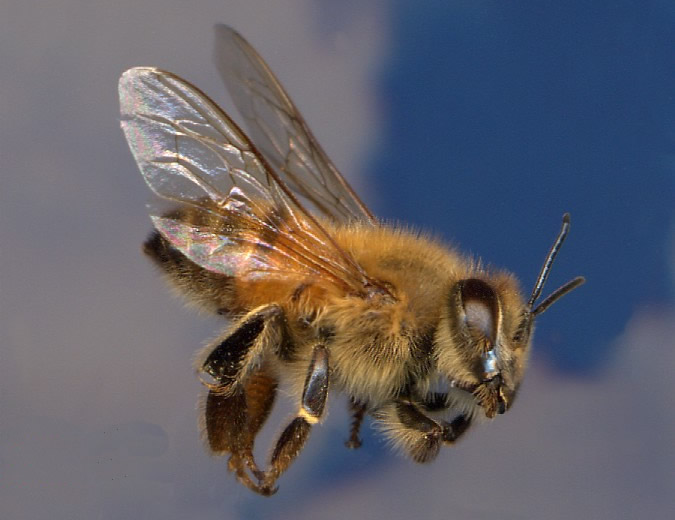 > Aug 9 - Wild bees sting Texas man more than 300 times - Photo posted in BX Daily Bugle - news and headlines | Sign in and leave a comment below!