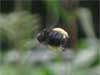 Male carpenter bee in flight with pollen