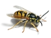 Yellow Jacket1.jpg