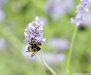 bumble_bee_2 by jenniferlauck.jpg