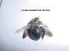 carpenter_bee_female__top_view.jpg